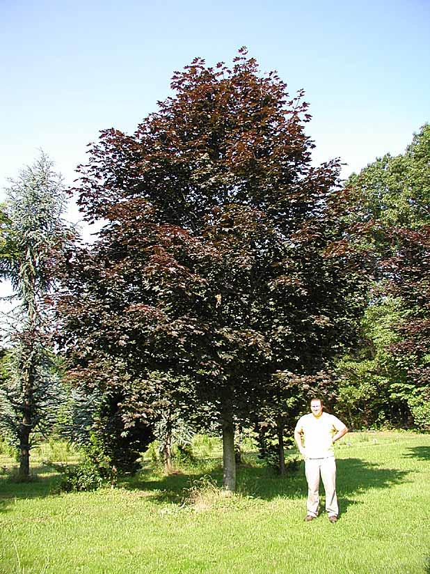 Large specimen trees for Specimen trees